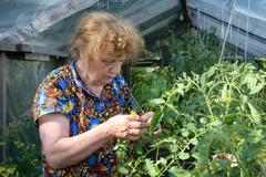 old woman in a hothouse examines tomatoes - stock photo
