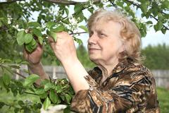 The old woman considers pear flowers - stock photo