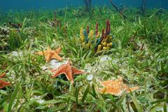 Cushion sea star undersea with colorful sponges - stock photo