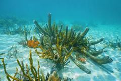 Underwater marine life branching vase sponge - stock photo