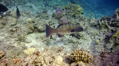 A Malabar grouper (epinephelus malabaricus) in the Red Sea Stock Footage