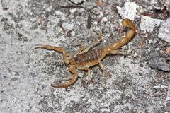 Yellow scorpion, Buthus occitanus Stock Photos