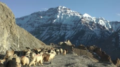 Goat herding in Dhankar Village,Dankhar,Spiti,India Stock Footage