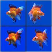 Goldfish Kuvituskuvat