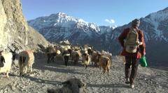 Goat Herder in Dhankar village,Dankhar,Spiti,India Stock Footage