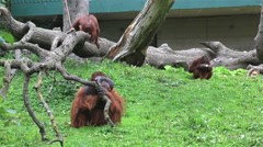 Family of Bornean orangutan Stock Footage