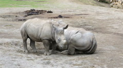 Cub Southern White Rhinoceros with mother Stock Footage