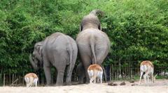 Asian elephant Stock Footage