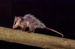 Andean white eared opossum on a branch zarigueya Stock Photos