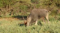 Feeding eland antelope Stock Footage