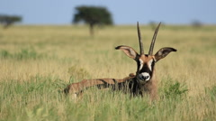 Roan antelope in grassland Stock Footage
