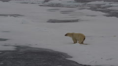 Slow Motion Polar Bear walking away from bowel movement Stock Footage