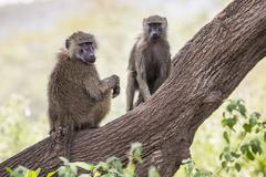 Baboon - Tarangire National Park - Wildlife Reserve in Tanzania, Africa Stock Photos