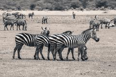 Zebra in National Park. Africa, Kenya Stock Photos