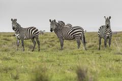 Stock Photo of Zebras in Ngorongoro conservation area, Tanzania