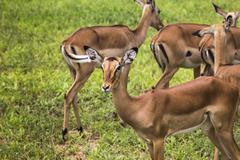 Female impala antelopes in Maasai Mara National Reserve, Kenya. Stock Photos