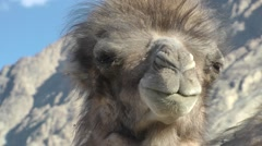 Young Bactarian Camel close-up in Nubra,Diskit,Ladakh,India Stock Footage