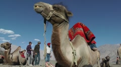 Bactarian Camels in Nubra Valley,Diskit,Ladakh,India Stock Footage
