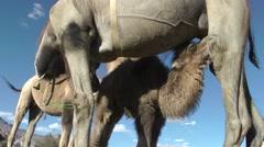 Camel feeding baby,Diskit,Ladakh,India Stock Footage