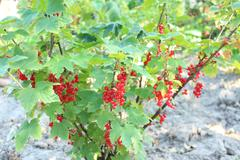 Stock Photo of Berry of a red currant on the bush