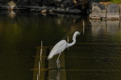 Great White Egret (Ardea Alba) fishing Stock Photos