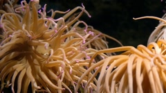 Aquarium of genoa, sea anemone Stock Footage