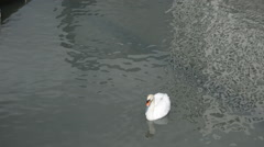 Swan In A Pond Stock Footage