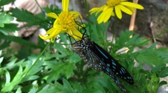 Butterfly Blue Glassy Tiger (Ideopsis vulgaris macrina) Stock Footage