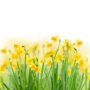 Stock Photo of spring narcissus