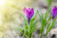 Stock Photo of spring blooming crocus in the sun