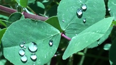 Dew on leaves zoom out Stock Footage