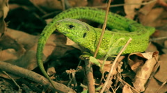 Macro shot of the green lizard Stock Footage