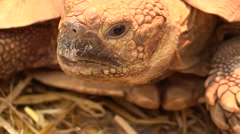 Close-up view of the head of a giant tortoise Stock Footage