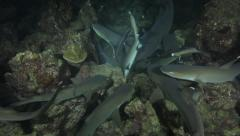 Whitetip reef sharks feeding frenzy at night, the Cocos Islands, Costa Rica Arkistovideo