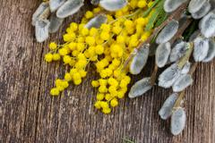 French mimosa with catkins - stock photo