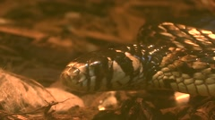 small constrictor snake. Tongue - stock footage