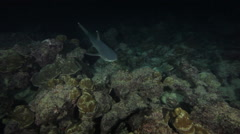 Whitetip reef shark swims under camera in the Cocos Islands, Costa Rica Arkistovideo