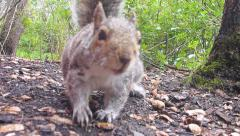 Snacking Squirrel Close Up Stock Footage