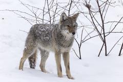 Coyote in winter Kuvituskuvat