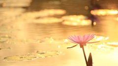 Lotus and the evening sunlight Stock Footage