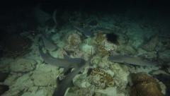 Whitetip reef sharks search for prey, the Cocos Islands, Costa Rica Arkistovideo