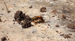 Hornet with spider and centipede Stock Footage