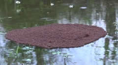Large mass of red ants floating on water - stock footage