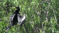 Anhinga in Everglades National Park Stock Footage