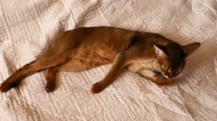 Abyssinian cat washes lying on beige blanket Stock Footage