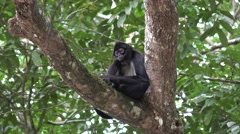 Spider Monkey in Jungle in Central America Stock Footage