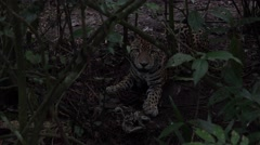 Jaguar in Jungle in Darkness as Night Comes at Sundown Arkistovideo