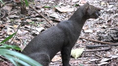 Jaguarundi Cat in Jungle in Central America - stock footage