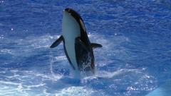 Stock Video Footage of Orca jump
