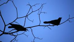 The birds on the tree branches, but in nightfall. Stock Footage